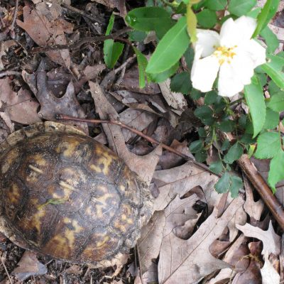 Turtle in Roses