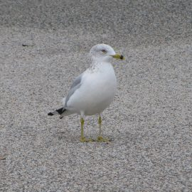 Parking Lot Seagulls