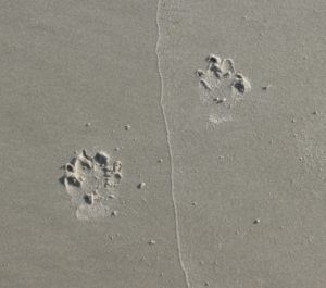 Pawprints on beach
